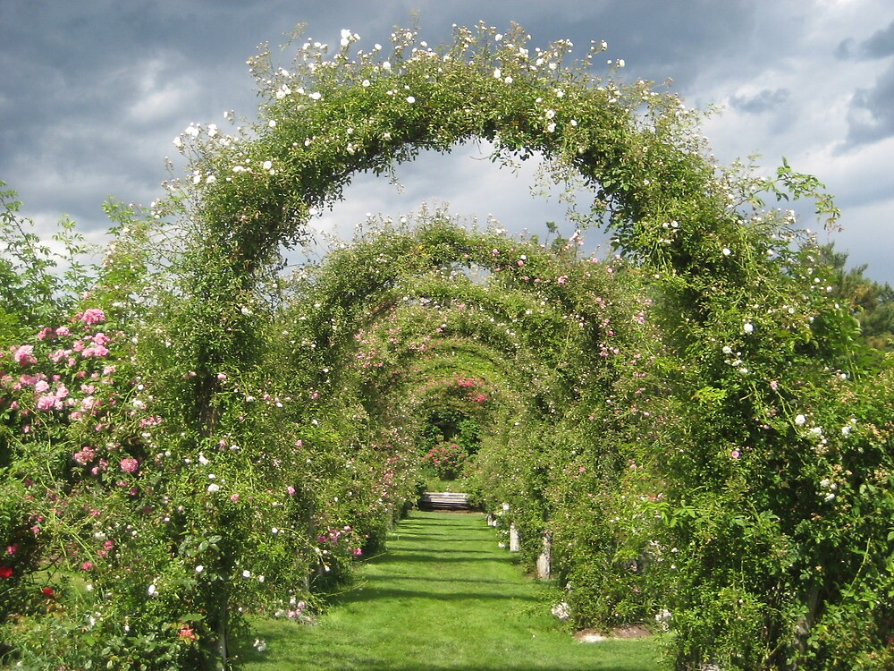 Rose arches at Elizabeth Park by polyxena