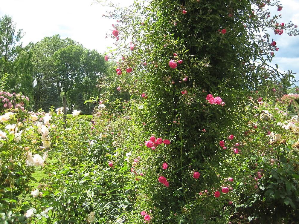 Roses at Elizabeth Park by polyxena