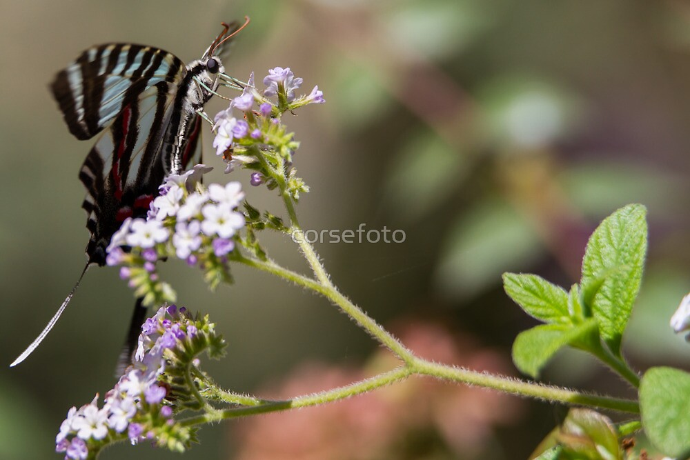 Western Tiger Swallowtail Butterfly by corsefoto