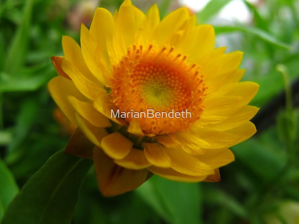 Strawflower in bloom by MarianBendeth