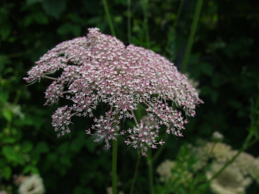 Pink Queen Anne's Lace by MarianBendeth