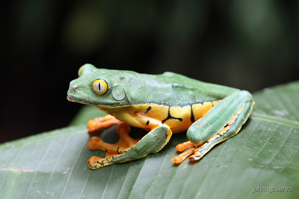 Tiger frog by johnnycuervo