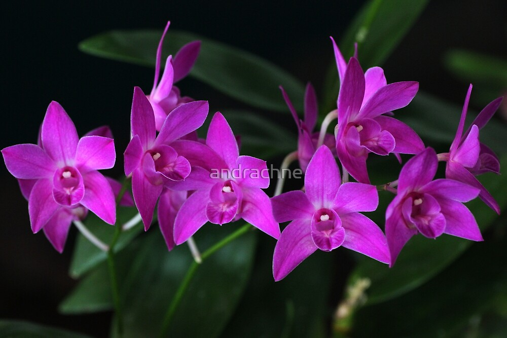 Dendrobium Hot/Cold hybrid by andrachne