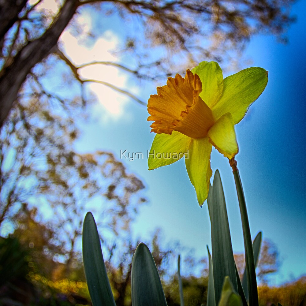 Daffodil by Kym Howard