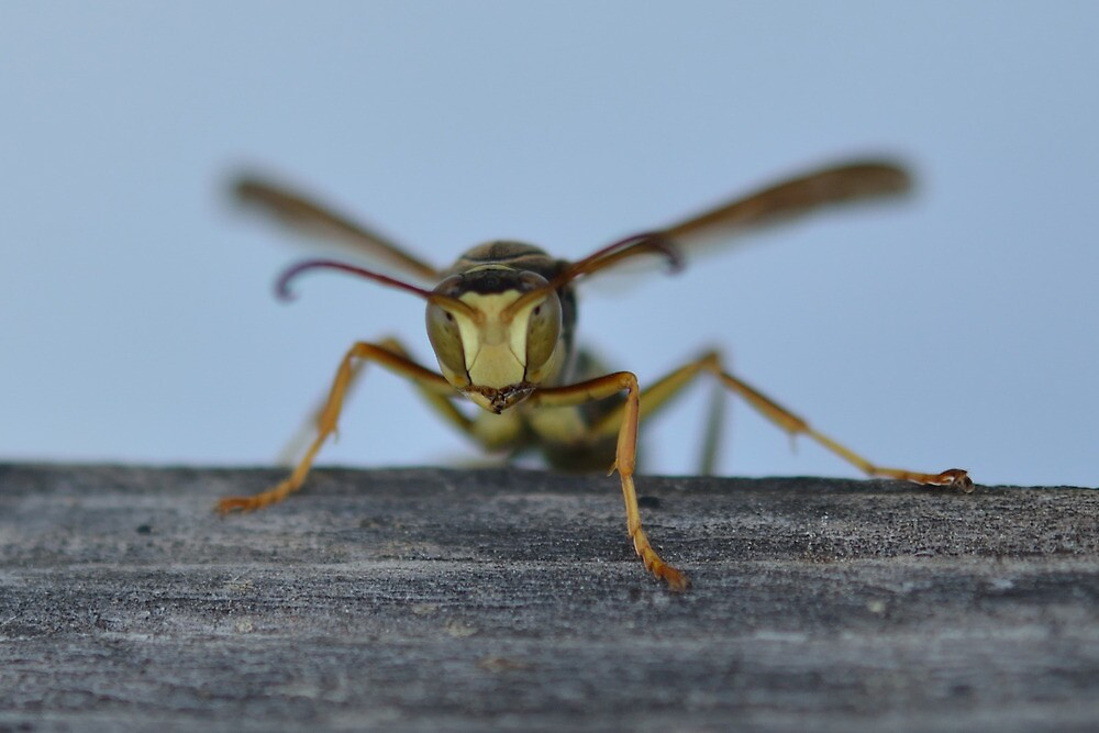 Yellow Jacket Stare Down by Groovydawg