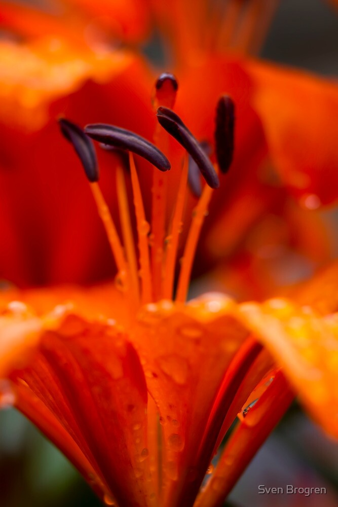 Orange Day Lilly over and under by Sven Brogren