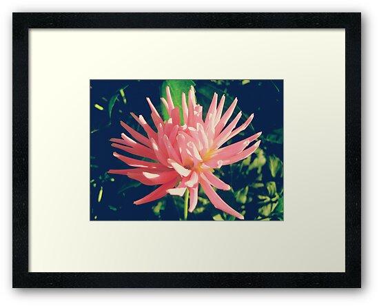 Pink dahlia flower by cycreation