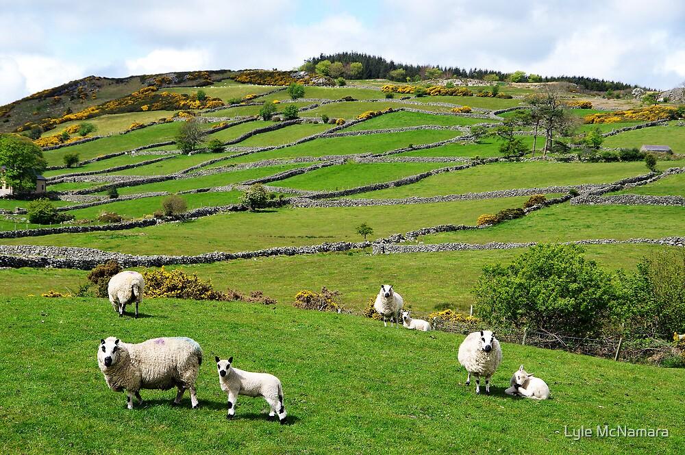 Kerry Hill Sheep by Lyle McNamara
