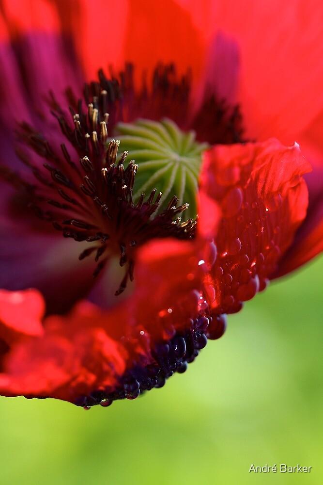Poppy. by André Barker