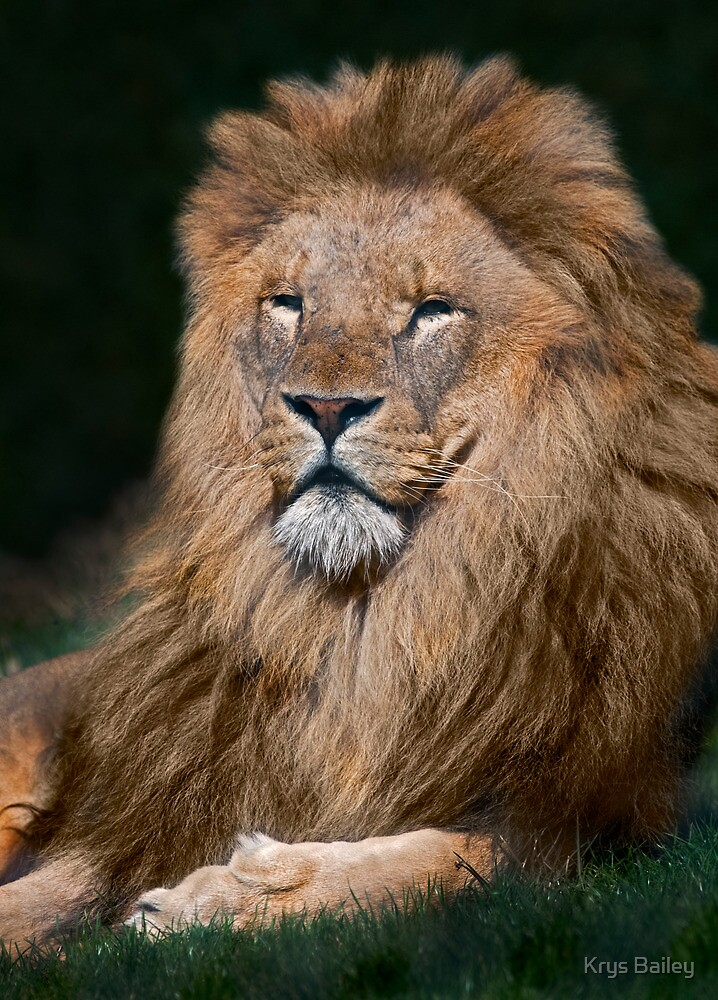 King of the Pride by Krys Bailey