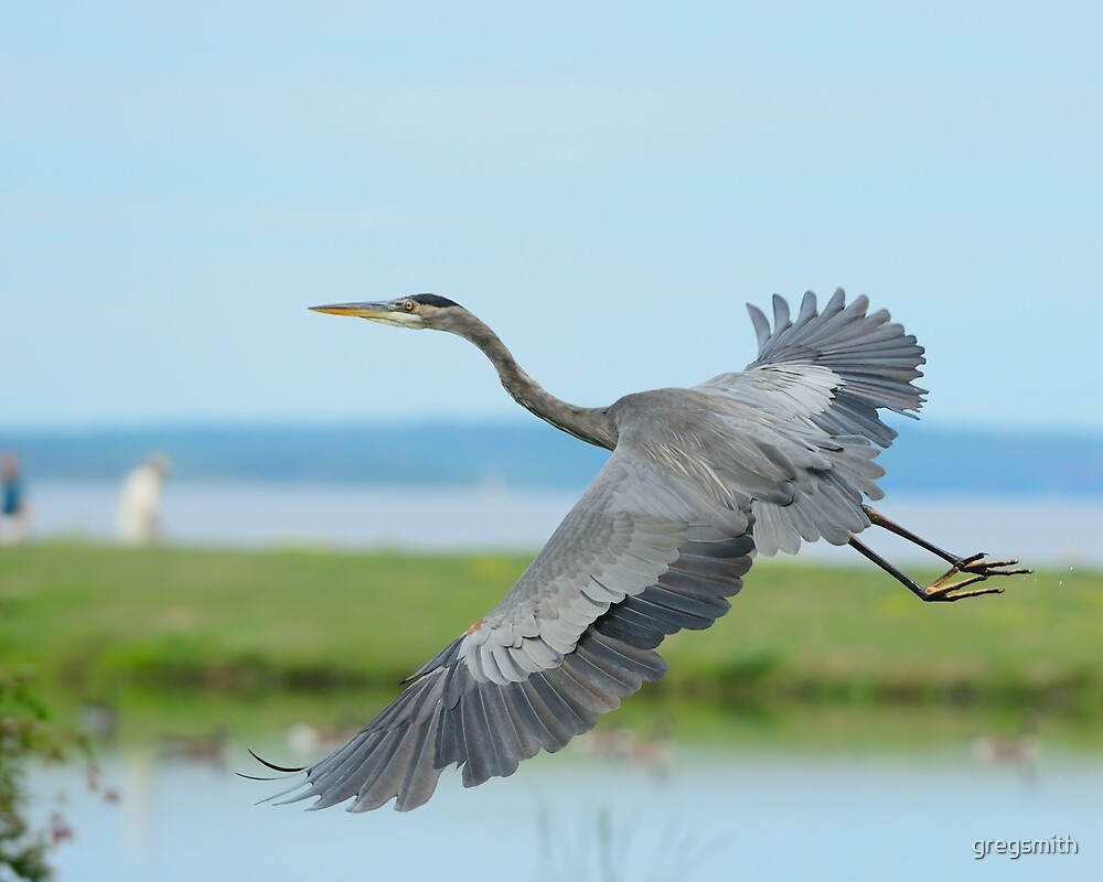 Great Blue Heron by gregsmith