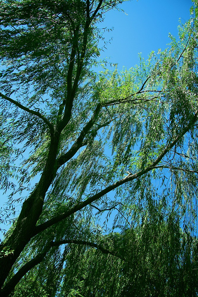 A Weeping Willow by Cora Wandel