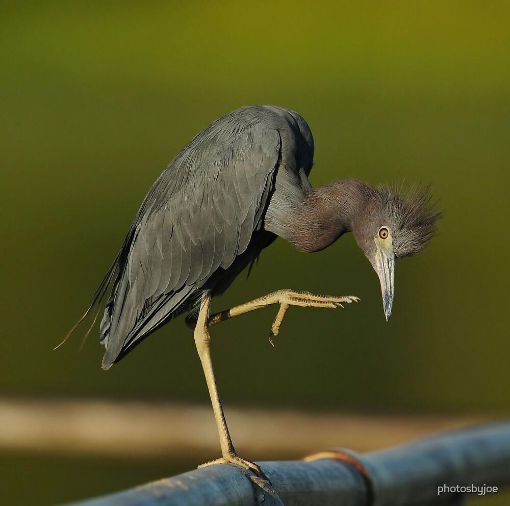 Little Blue Heron by photosbyjoe