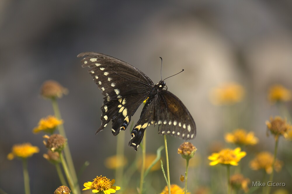 El Paso Butterfly by Mike Cicero