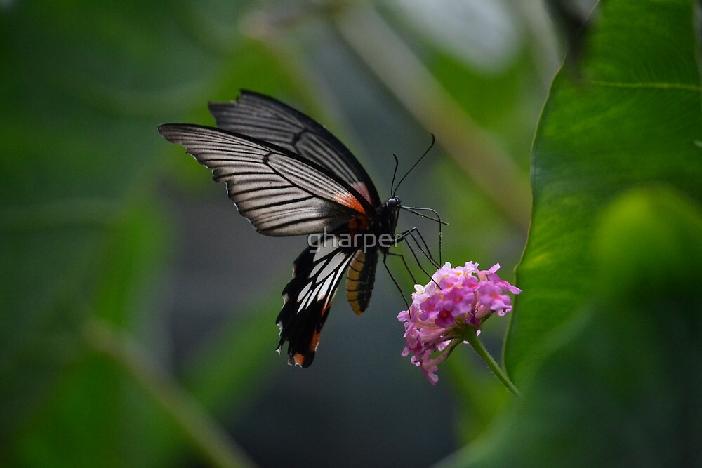 Butterfly 2 by gharper