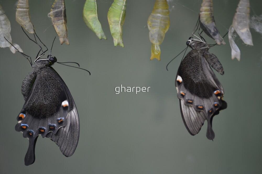 Butterfly 4 by gharper