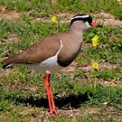 Crowned Lapwing by croust