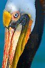 Brown Pelican by Eyal Nahmias