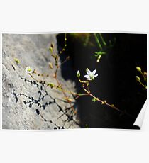Burren Flower on the Shore Poster