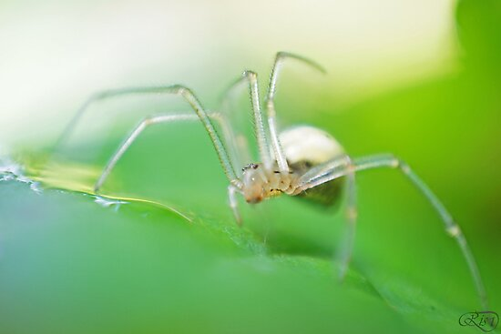 Spider by RisD