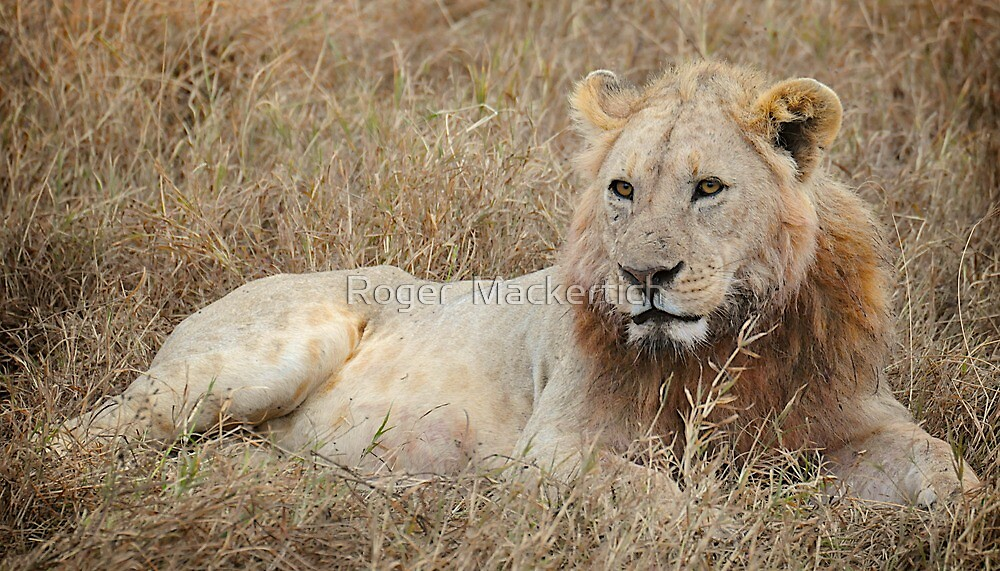 Lounging Lion by Roger  Mackertich