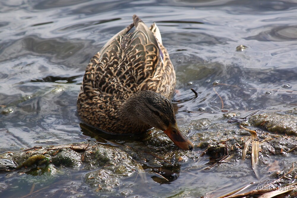 Mama Mallard looking for lunch. by Adam Kuehl
