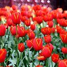 Tulips with Bokeh by mooksool