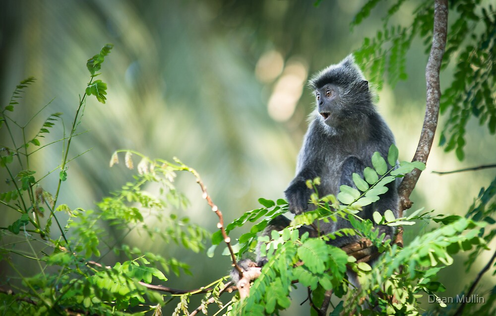 Silver Leaf Monkey by Dean Mullin