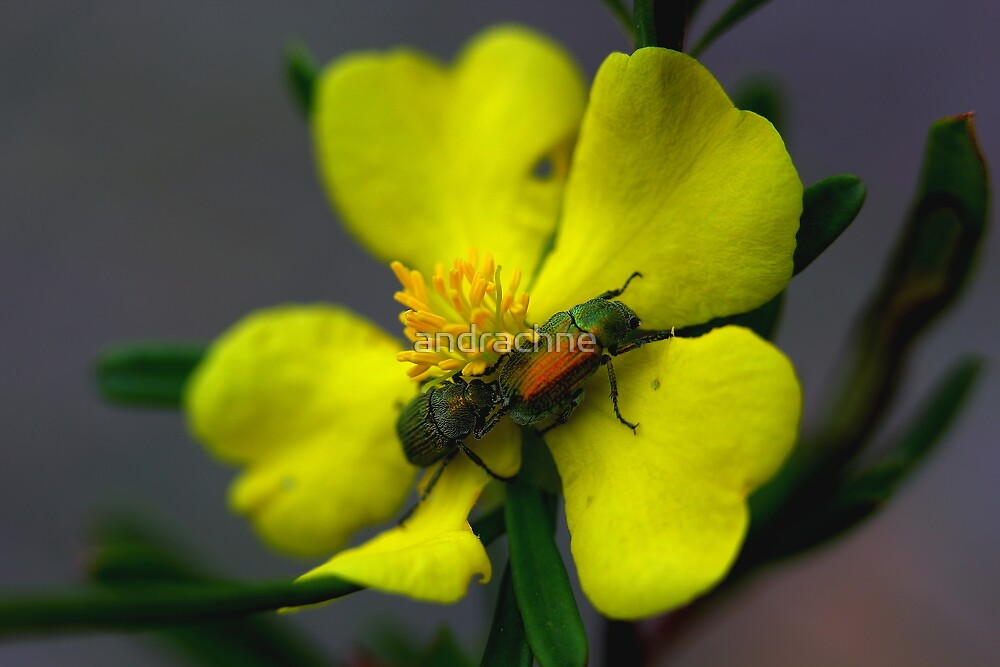 Hibbertia linearis by andrachne