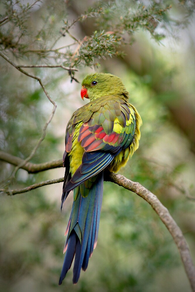 Regent Parrot by roger smith