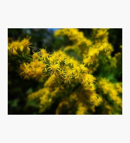Sneeze weed Photographic Print