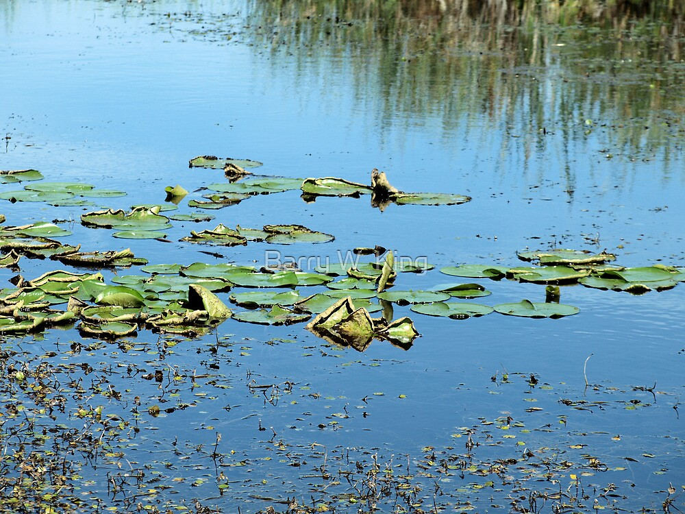Lily Pads by Barry W  King