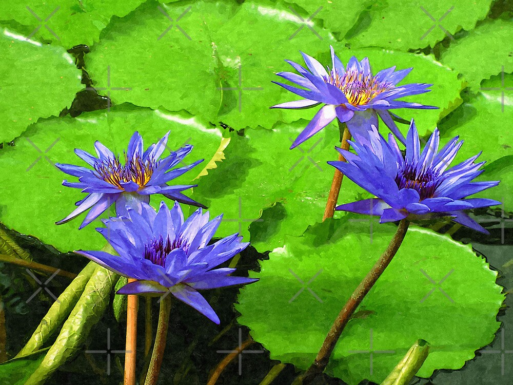 Purple Water Lily by Vac1