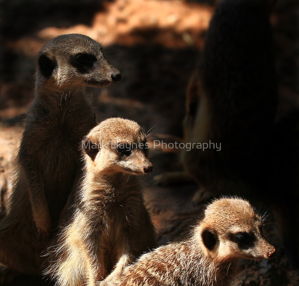 Meerkat Group-early morning light. by Mark Haynes Photography