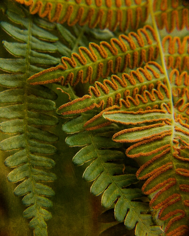Ferns by bonniebruno
