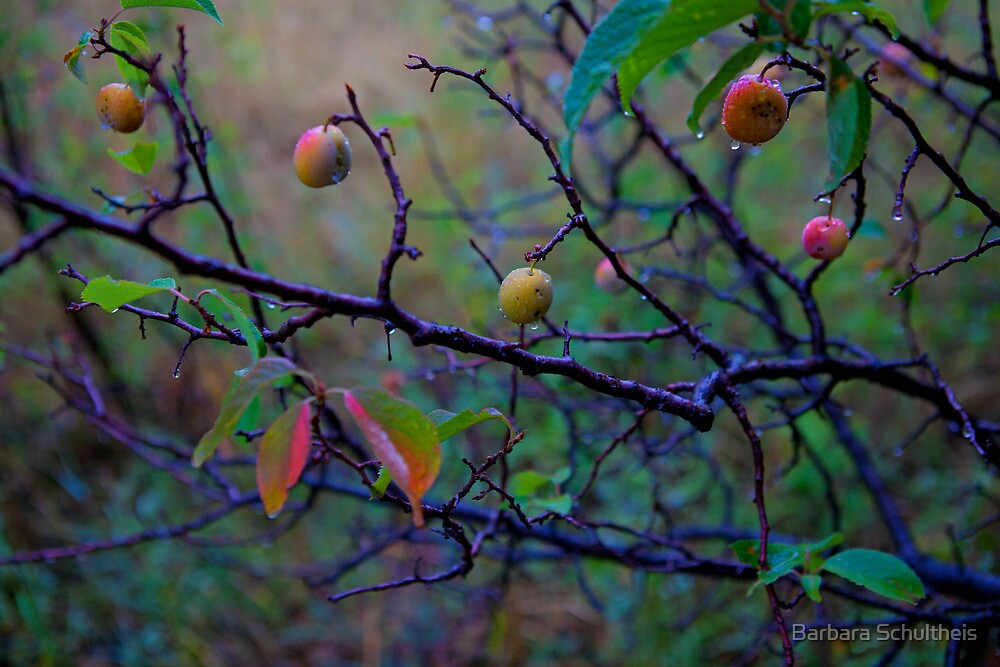 Wild Plum In the Rain by Barbara Schultheis