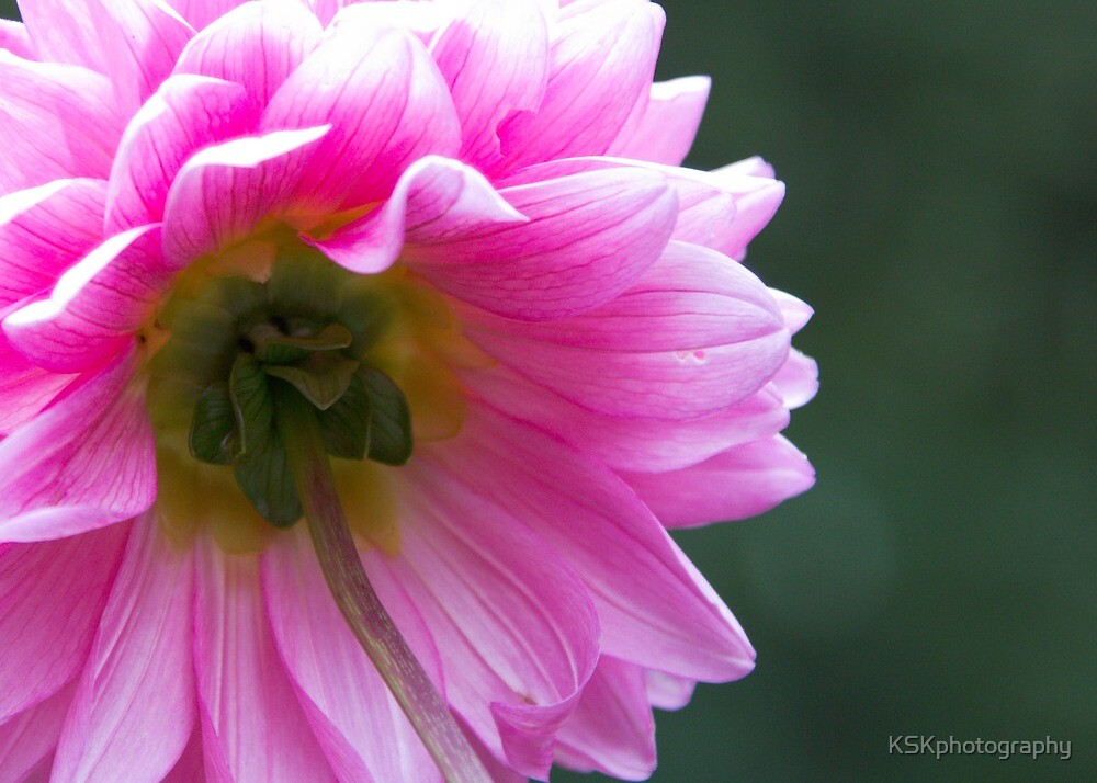 Dahlia - reaching for the sun. by KSKphotography
