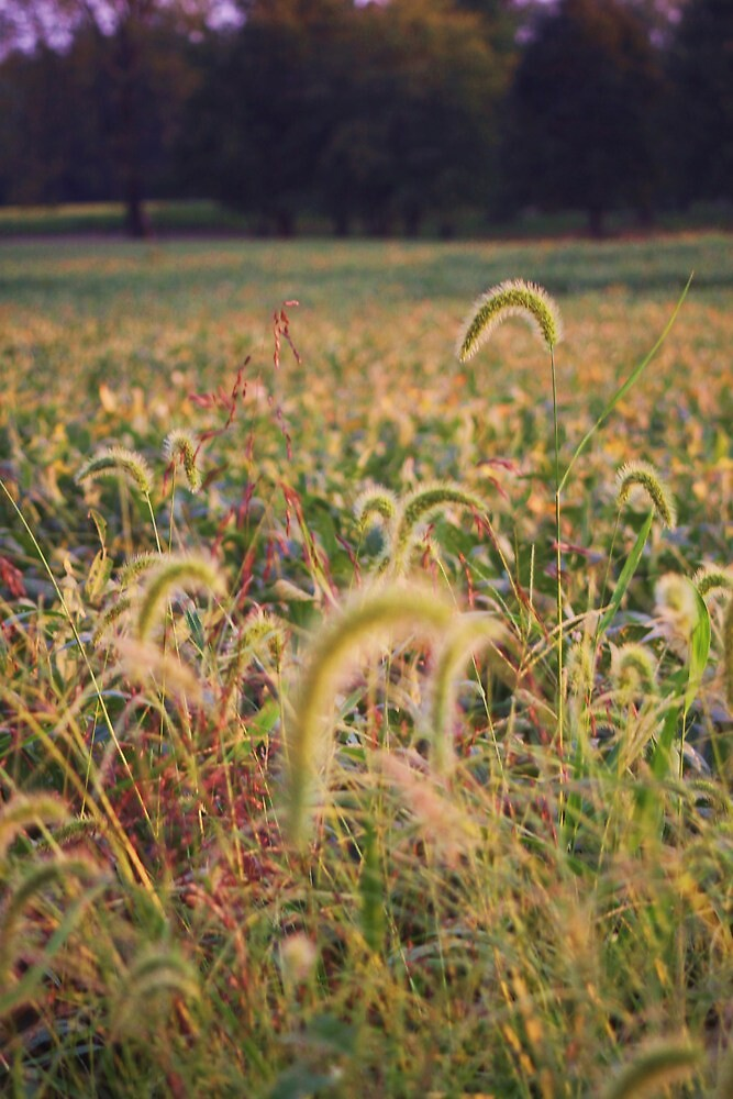 WILD GRASS ALONG THE SOYBEANS by Pauline Evans