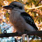 Kookaburra by mandyemblow