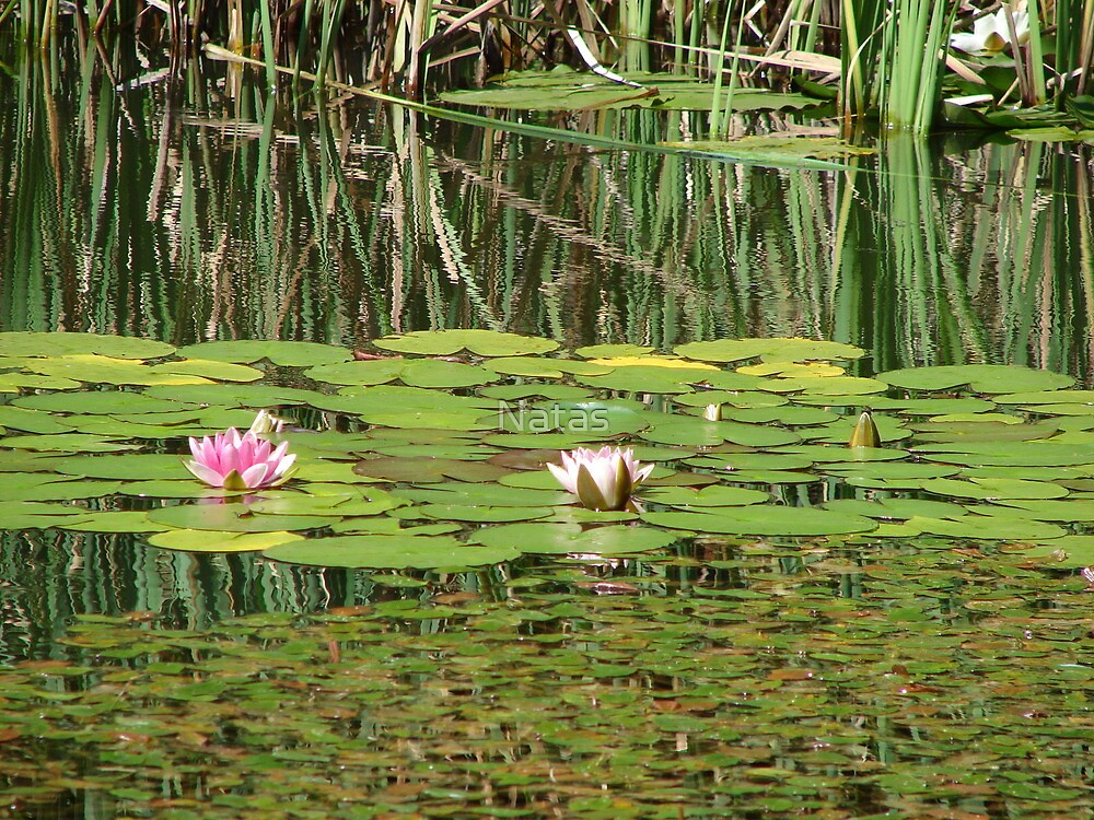 Waterlily by Natas