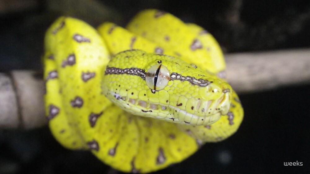 Aru Island Green tree python by weeks