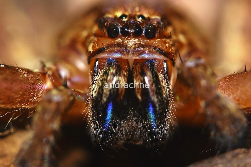 Heteropoda jugulans by andrachne