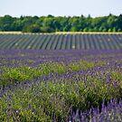 Lavender Fields by Billy Hodgkins