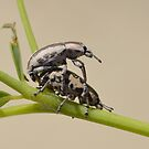 Lil Weevils by Kathy Baccari