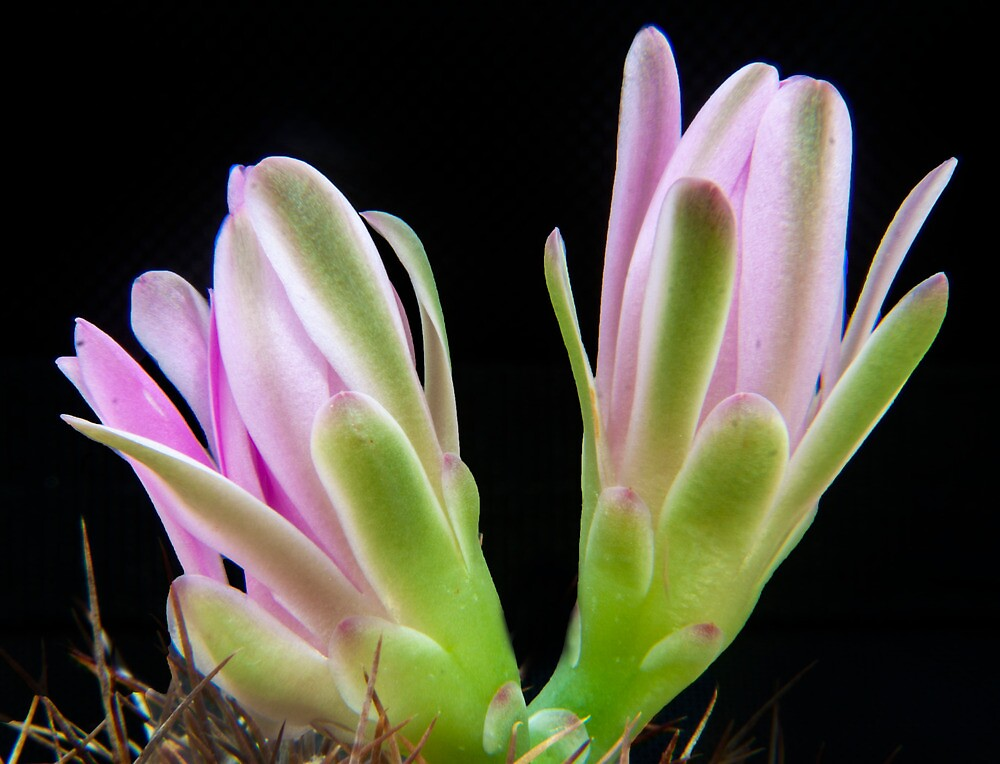 Cactus top Flower by neelrad1