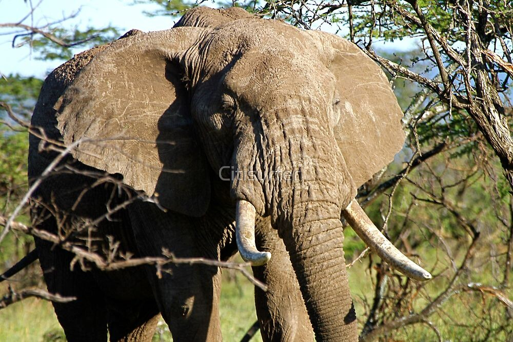 A Big Tusker by Citisurfer