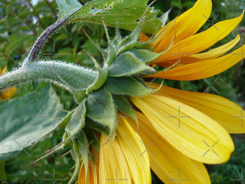 Sunflower ín the garden by Hekla Hekla