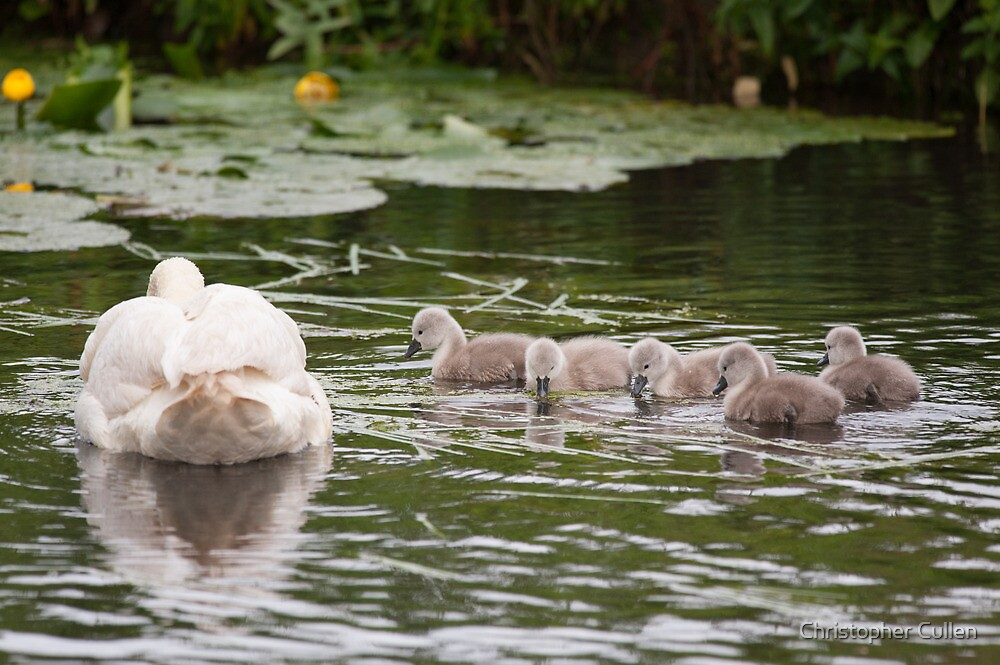 Cygnets by Christopher Cullen