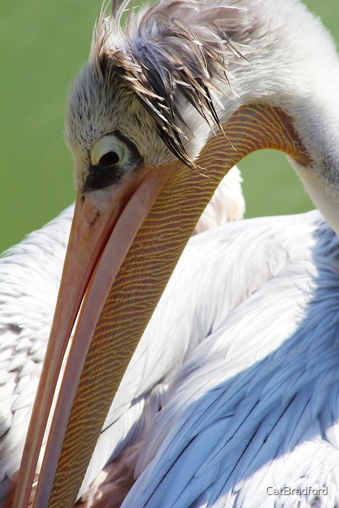 Pelican grooming by CatBradford