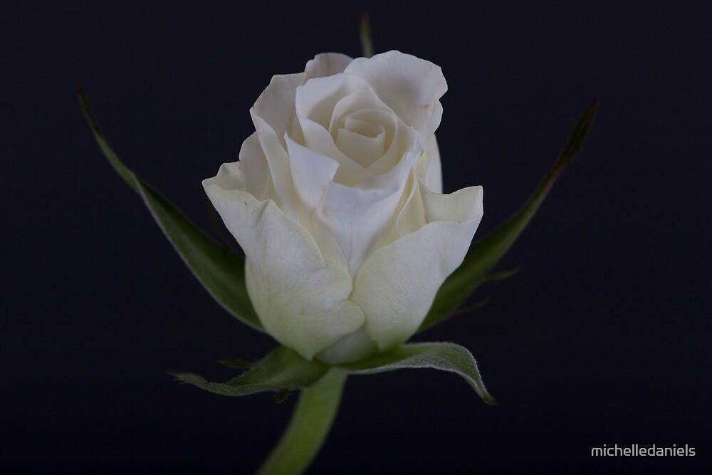 White Rose by michelledaniels
